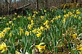 Yellow flowers in a clearing in the woods of Jura, France.jpg