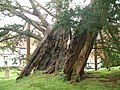 Yew Tree in Rotherfield Churchyard - geograph.org.uk - 171050.jpg
