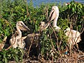 Young American White Pelicans (7462462570).jpg
