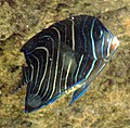 Young Pomacanthus imperator by Line1.jpg