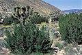 Yucca brevifolia ssp. herbertii fh 1182.97 Yucca whipplei fh 1183.79 CAL B.jpg