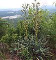 Yucca flaccida Adams needle.JPG