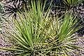 Yucca reverchonii in Christchurch Botanic Gardens 02.jpg