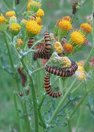 Larval food plants of Lepidoptera - Tyria jacobaeae on Senecio jacobaea