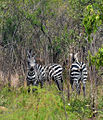 Zebras - Flickr - askmeaks.jpg