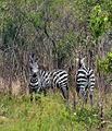 Zebras - Flickr - askmeaks.jpg