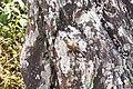 Zonotrichia capensis, Brazil 6.jpg