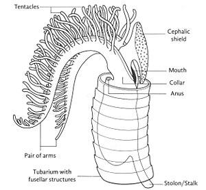 Graptolithina - Graptolite zooid inside tubarium