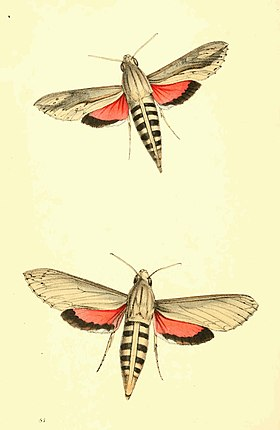 Zoological Illustrations Volume II Plate 81.jpg