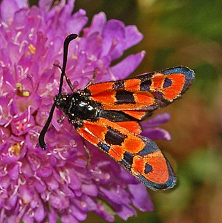 <i>Zygaena hilaris</i> Species of moth