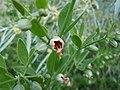 Zygophyllum fabago, SW Ukraine 1.jpg
