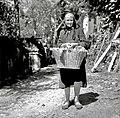 """""""Berač"""", posebna košarica za prinašanje solate in drugih vrtnih pridelkov, Prapetno 1954.jpg"""