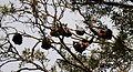(1)Bats Centennial Park 016.jpg