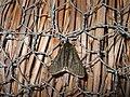 (1926) Pale Brindled Beauty (Phigalia pilosaria) f. monacharia (3297345408).jpg