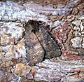 (2302) Brown Rustic (Rusina ferruginea) (34579827050).jpg