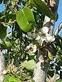(ALB) P. communis - flower-6.jpg