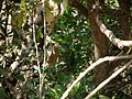 ¿ Atalantia racemosa ? (6841545013).jpg
