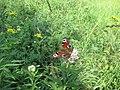 Бабочки 3.jpg