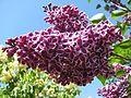 Ботанічний сад ім. М.Гришка IMG 7132.jpg
