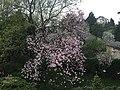 Магнолія весною 01.jpg