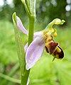 Офрис пчелоносная - Ophrys apifera - Bee orchid - Пчелоносно бръмбарче - Bienen-Ragwurz (35280555305).jpg