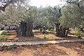 Оld Olive trees in the Garden of Gethsemane, 01.jpg