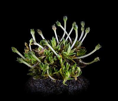 Перлинниця антарктична, або колобанус антарктичний чи колобантус Кіто (Colobanthus quitensis (Kunth) Bartl.).jpg