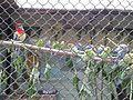Попугаи 1 (Penza Zoo 2016).jpg