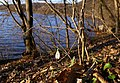 """Підсніжник на гранітному схилі пам'ятки """"Скеля Коцюбинського"""" P1200446.jpg"""