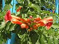 Растения в Седово 091.JPG