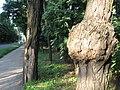 Светловодск. Дерево в парке - panoramio.jpg