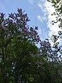 Сирень в ботаническом саду СПбГЛТУ.jpg