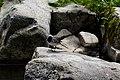 Скелі Довбуша Плиска біла DSC 0561.jpg