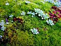 Сукуленти и мов , Succulents among moss.jpg