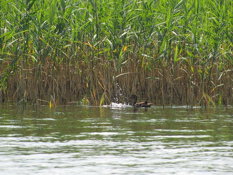 File:Шацькі озера влітку.jpg