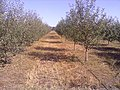 Яблони - panoramio (1).jpg