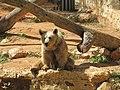 דוב חום סורי Ursus arctos syriacus 1.jpg