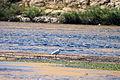 ِA cattle egret in River Nile Aswan , Egypt.JPG