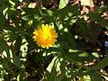 カレンデュラ (Calendula officinalis) (16992201467).jpg