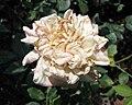 中國古老月季-古老3 Rosa chinensis 'Ancient-3' -深圳人民公園 Shenzhen Renmin Park, China- (28921196148).jpg