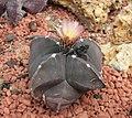 仙人掌-螺旋鸞鳳玉 Astrophytum myriostigma -巴黎植物園 Jardin des Plantes, Paris- (9166018578).jpg