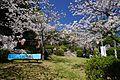 八王子宮の桜 - panoramio.jpg