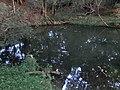 御手洗池の白い鯉 - panoramio.jpg
