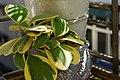 斑心葉毬蘭 Hoya kerrii variegata - panoramio.jpg