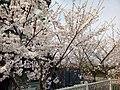 漕宝路七号桥头的樱花树 2.jpg