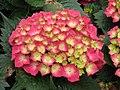 繡球花 Hydrangea macrophylla -香港禮賓府 Hong Kong Government House- (9252464231).jpg