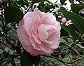 華東山茶-重瓣玫瑰型 Camellia japnonica Double Rose Form -昆明植物園 Kunming Botanic Gardens, China- (38473790660).jpg