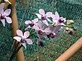 蝴蝶蘭 Doritaenopsis Tzu Chiang Sapphire -香港公園 Hong Kong Park- (13348772634).jpg
