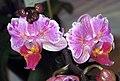 蝴蝶蘭 Phalaenopsis Happy King -香港沙田洋蘭展 Shatin Orchid Show, Hong Kong- (9157738595).jpg