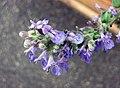 香蜂草 Melissa officinalis -香港花展 Hong Kong Flower Show- (9200963900).jpg